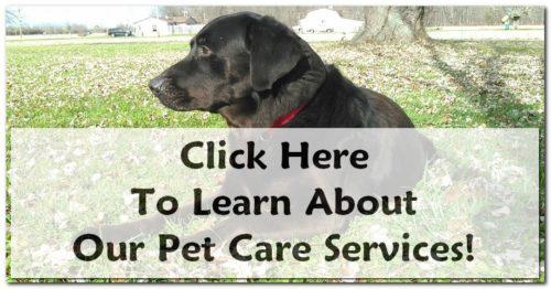 black labrador, Muncie Pet Sitter
