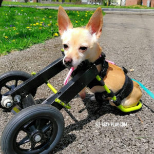 2 legged chihuahua in dog cart, doggy wheelchair
