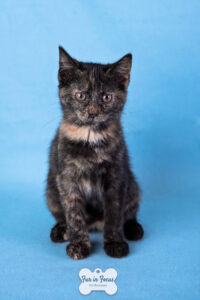 tortie kitten up for adoption